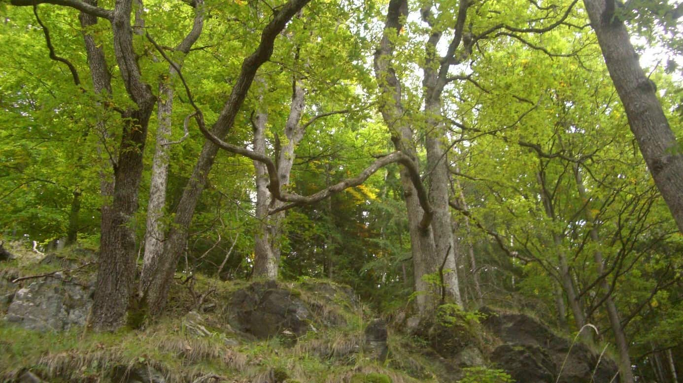 Traubeneichen-Wälder bei Bruck an der Mur 279