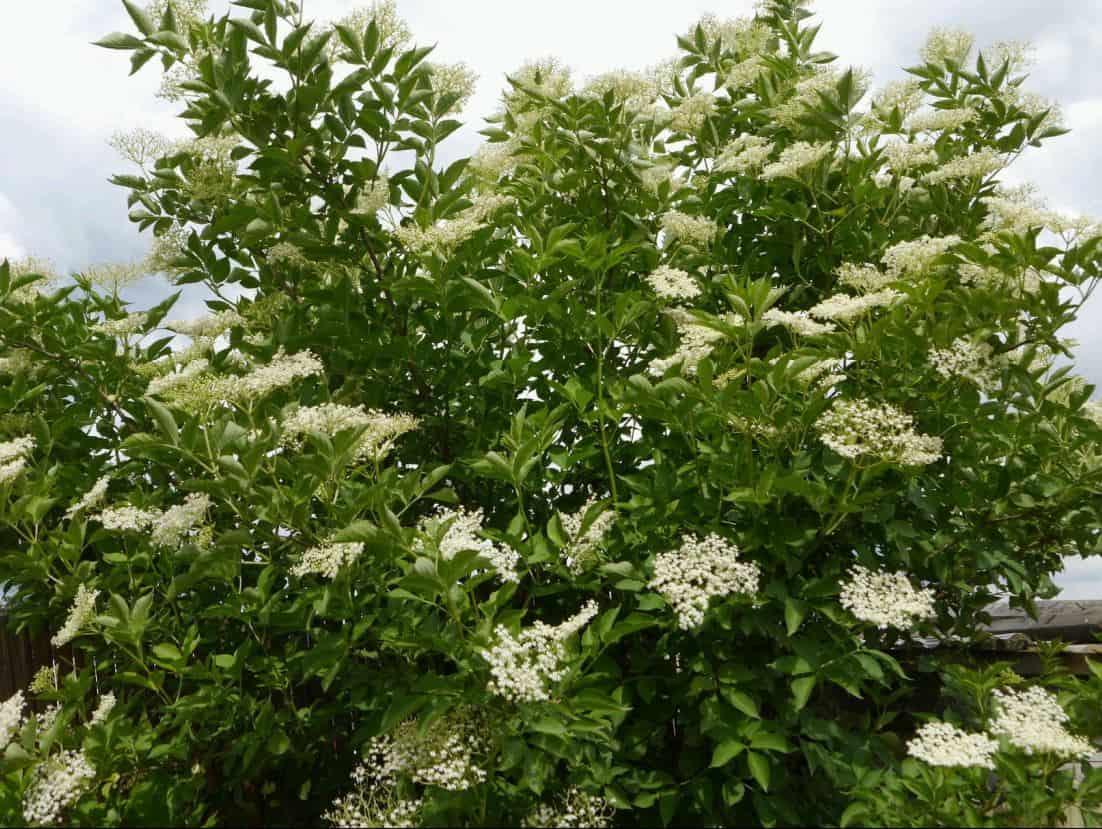 Kräuterzauber der Hollerfee - SALBEN RÜHREN - Blüten-Essenz 211