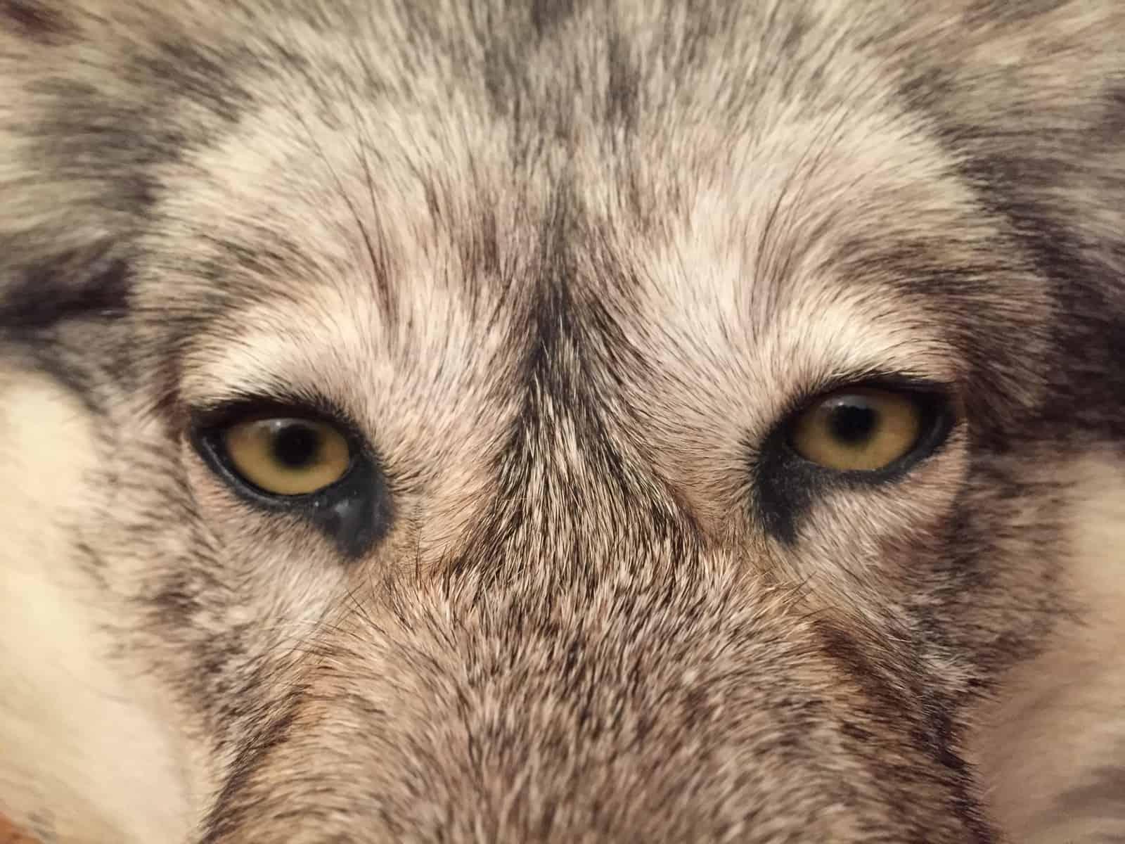 Marcus und der Wolf 1