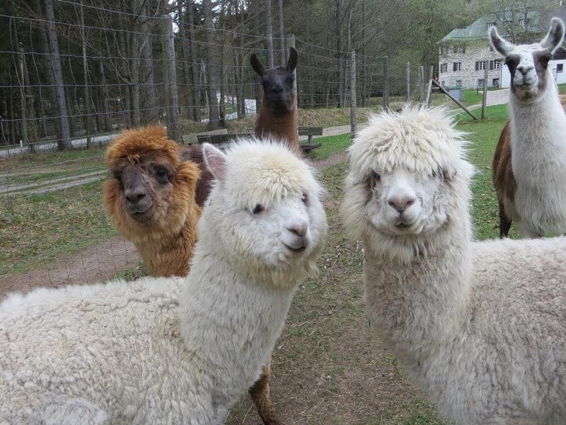 Lama- und Alpakawanderung 80