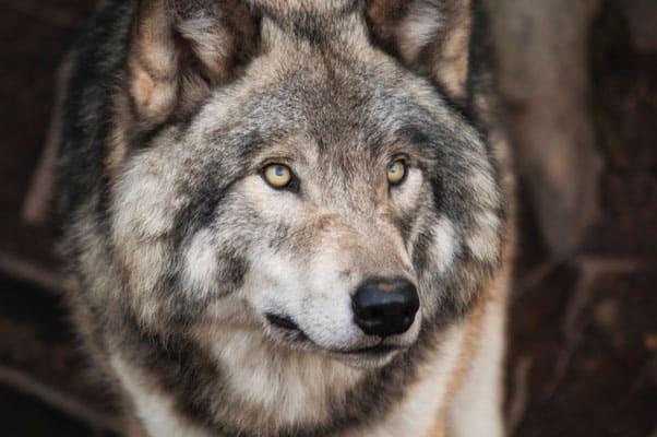 Der böse Wolf ist da 254